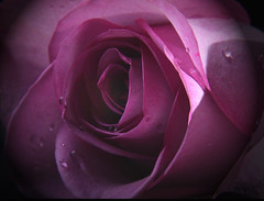 This one is for you Grandma! (Juli's pix) Tags: purplerose roseforgrandma