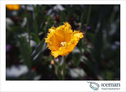 Regent's Park Flower 009