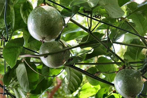 Passiflora edulis (rq) - 04