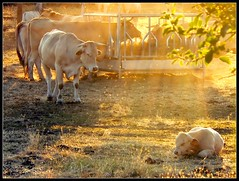 l'or(al) des vaches / golden cow (platane31) Tags: sun france lumix fz20 gold soleil cows or frame cadre vaches tarnetgaronne midipyrnes veau mangeoire lagupie leplatane