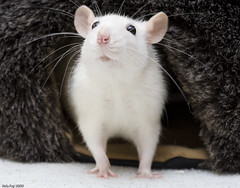 Elise (Arathrael) Tags: pet girl female rodent rat elise