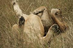 Male Lion relaxing - Maasai Mara, Kenya