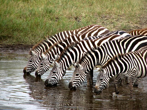 Zebras in a Row by Amal Chandaria.