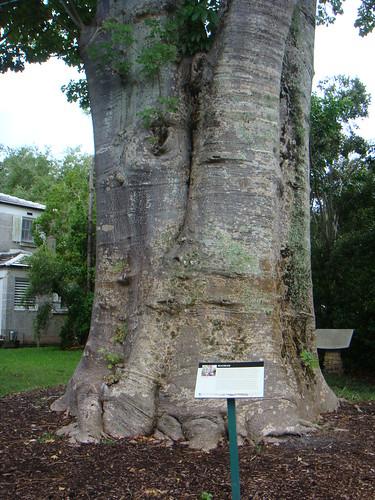 Baobab III