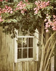 The Wishing Window (luvpublishing) Tags: flowers window nature floral vintage rustic bougainvillea porch oldwood picnik fauxvintage oldwindow explored antiquewindow nikond90 oldwoodenbuilding oldporches