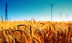Electric Wheat (Yaniv Ben Simon) Tags: blue sun color nature field electric gold israel telaviv wheat cable yanivbensimon wwwybscoil