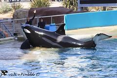 Valentin v1 030909 (valentin666) Tags: killer whale orca valentin antibes marineland orque