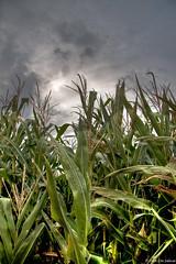 MAIZAL (Cris_ST) Tags: popcorn campo maiz siembra crisst panochas canoneos40d trabajosagrcolas