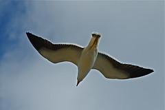 Seagull glide (Geoff Penaluna) Tags: seagulls bird nikon feathers australia melbourne victoria birdwatcher 85mmf14 d700 nikond700 fotocompetition fotocompetitionbronze