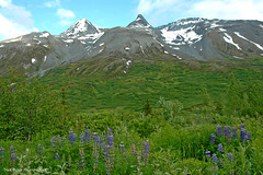 Majestic Alaska (Nick Boren Photography) Tags: love alaska this nikon d70 country springtime lupines i thelastfronteir