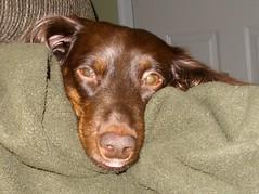 Link: The Watcher (Tobyotter) Tags: dog chien hound canine dachshund perro hund link wienerdog dackel teckel k9 doxie sausagedog aplaceforportraits pointyfaceddog