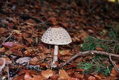 germany  around 2005 (mikek666) Tags: mushroom cogumelo seta mantar hongo paddestoel pilz fong fungo bolet onddo μανιτάρι μύκητασ μύκησ