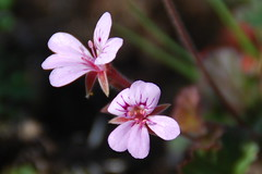 Native orchid (Joybelle007) Tags: orchid pinkflower flowercloseup nativeflower australianflower australianorchids