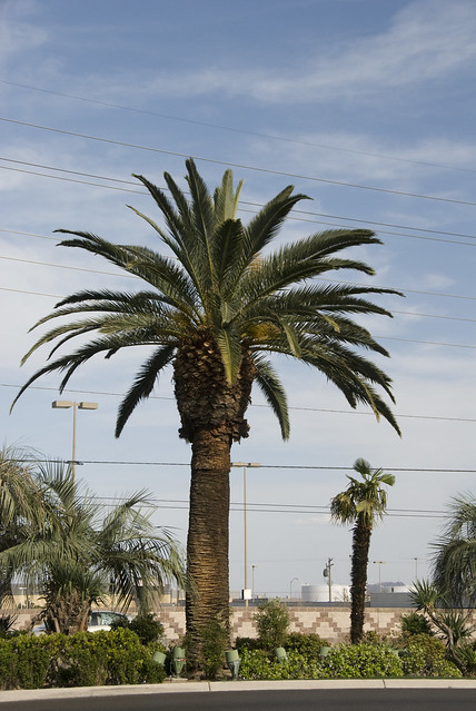 D3 median palm tree