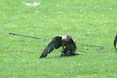 Fressender Greifvogel