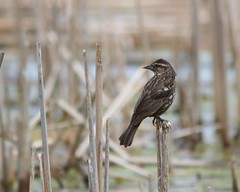 Red Wing Black Bird on Vigil (Windingways Photography) Tags: ontario bird nature birds canon birding 7d canoneos7d