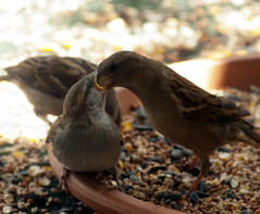 I'll Stuff Your Face (wisely-chosen) Tags: wild baby bird birds birdseed eating may cameraraw 2011 housesparrows canonef70300mmf456isusmlens adobephotoshopcs5extended