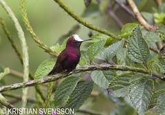 Snowcap (Microchera albocoronata) (macronyx) Tags: bird nature birds costarica hummingbird wildlife aves vogel oiseaux snowcap kolibri microcheraalbocoronata microchera fåglar irding