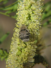 Flower Scarab (HeidiG71) Tags: nature insect texas wildlife beetle amarillo scarab wildcatbluff trichiotinuspiger