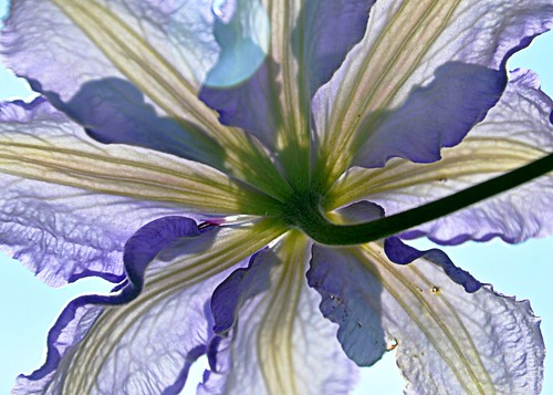 06-16-11 Clematis by roswellsgirl