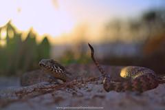 sunset on the beach at Ceduna.. (Rob Valentic - Gondwana Reptile Productions) Tags: canoneos5dmark3 acanthophisaustralia acanthophisantarcticus coastaldunesnakessouthaustralia beachlizards cedunareptiles aridaustralianreptiles coastalheathlandsnakes coastalsanddunes yashicamlmacro5528 yashicaoneos yashicaml bokehofvintageprimes bokehsnake cylensbokeh cyoncanon cyoneos sunsetskink beachdeathadder robvalentic caudalluring iconicaustralianlandscape saltbush sanddune sandandsky uppereyrepeninsula goldenhourbokeh saelapidae elapidae oldlensnewcamera vintagelens medicallysignificantsnakes neurotoxic chenopodshrubland australianelapidae australiansnakes southaustraliansnakes malleereptiles coastal coastalsaadder concepts spectacularaustraliansnakes nullarborplainreptiles ambush crypsis lensmadeinjapan cy