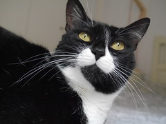 Gitana 32 (adopcionesfelinasvalencia) Tags: gato gitana