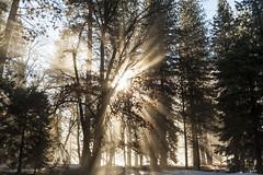 Morning at Yosemite (Priscila de Cássia) Tags: yosemite wild wilderness winter trees sunlight sunrays nikon d700 ynps yosemitenationalpark california sky stunning nature sun light tree yosemiteconnect