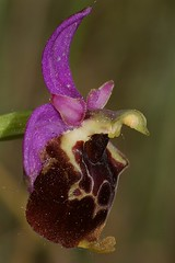 Ophrys Fuciflora (gattaccio) Tags: orchid pentax ophrys rikenon k100d justpentax