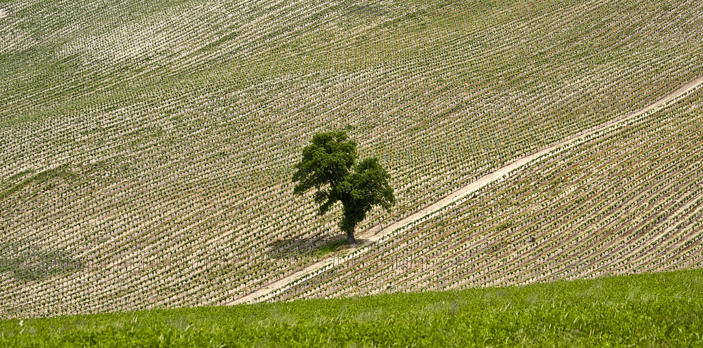 Tree in the vineyard #1