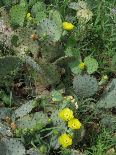 PricklyPear3