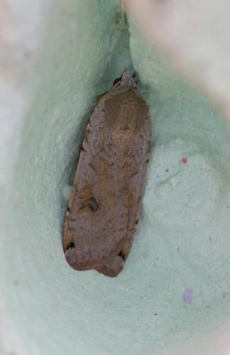 Large Yellow Underwing (Noctua pronuba)