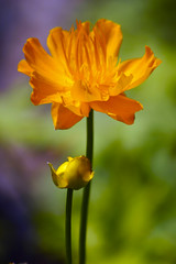 Renaissance flowers (alan shapiro photography) Tags: flowers orange painterly green garden backyard colorphotoaward excapture simplythebest~flowers vosplusbellesphotos ashapiro515 2010alanshapiro alanshapirophotography wwwalanwshapiroblogspotcom 2010alanshapirophotography