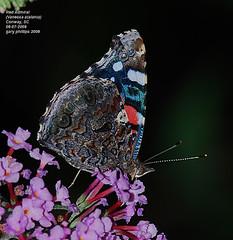 Red Admiral (Vanessa atalanta) (Carolinensis) Tags: flower nature butterfly southcarolina redadmiral lepidoptera butterflybush sb800 vanessaatalanta blueribbonwinner nikkor80400mmvr allrightsreserved nikond80 platinumphoto concordians yardlep buddlejadavidiivarpink