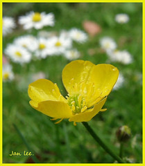 Just one Buttercup in a garden of daisies. (min51) Tags: white flower green yellow garden weed buttercup daisy awesomwblossoms