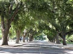 the trees at UC Davis (bgblogging) Tags: california trees davis allee