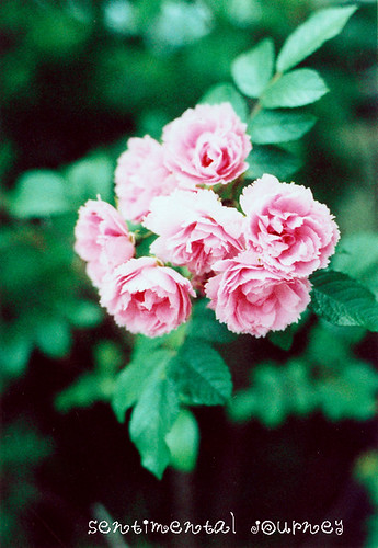 rose*7