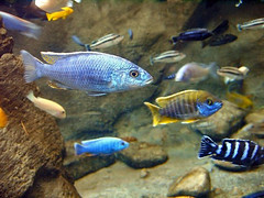 African Lake Cichlid by ictheostega, on Flickr