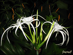 Hymenocallis caribaea (Caribbean Spiderlily) at our backyard, June 25 2009