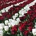 Nice combination Tulips