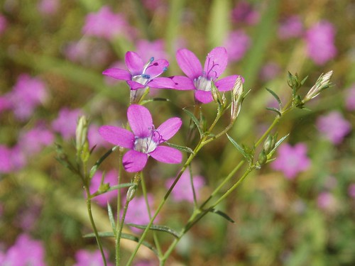 Small Flowered Gilia 01