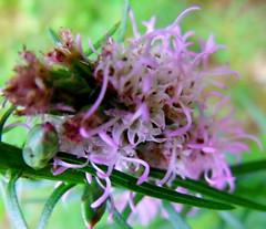 a downward spiral (Beyond.the.Box) Tags: life flowers nature evening petals backyard vibrant wildlife shade wonderous sensational blooms sunlit thinkoutsidethebox2008 rachelgrande macroandcheese