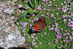 farfalla sul giacciaio Presena
