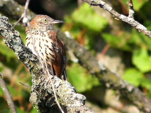 Brown Thrasher 3-20090813