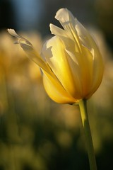 sunkissed (fiona j.) Tags: shadow sun flower yellow gold petals spring minolta bokeh sony ottawa may gimp beercan tulip 2009 goldenhour a100 tulipfestival 70210mm fionaj thepinnaclehof tphofweek42