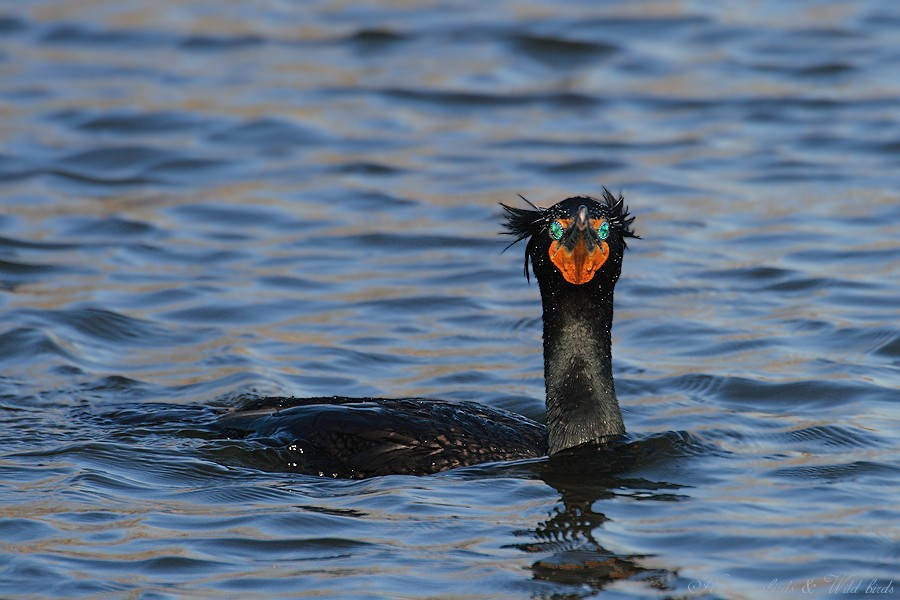 Double-crested Cormorant 03091-2