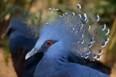 Royal Ramble-crowned pigeon