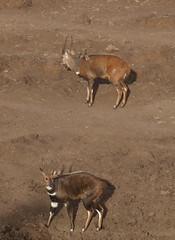Bushbucks (rgrant_97) Tags: africa animals kenya wildlife treetops lodge safari animais aberdares qunia