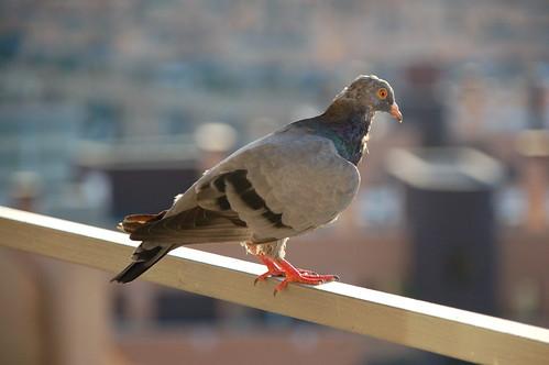 La ciudad es muy grande para paloma