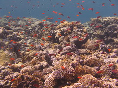 Reef / Recif (YackNonch) Tags: red sea mer fish uw underwater redsea scuba diving diver plongée poissons plongeur merrouge