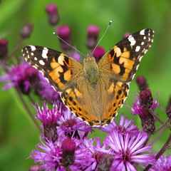 Painted Lady on the rise (Vicki's Nature) Tags: orange lady canon butterfly georgia purple heart bokeh spots wildflower paintedlady s5 vanessacardui ironweed distelfalter artlegacy vickisnature beautifulworldchallenges hickorytrailspark bwcgbutterfly bwcgspotsstripes newgoldenseal mothershallowdof